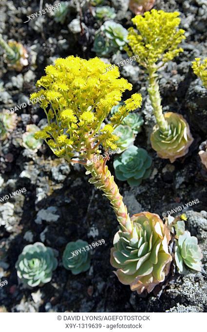 El Hierro, Canary Islands, Spain  Yellow flowers of one of the succulent houseleek varieties on rock face in El Julan region