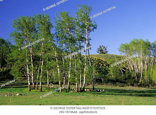 Ranchland with aspen, Okanogan County, Washington