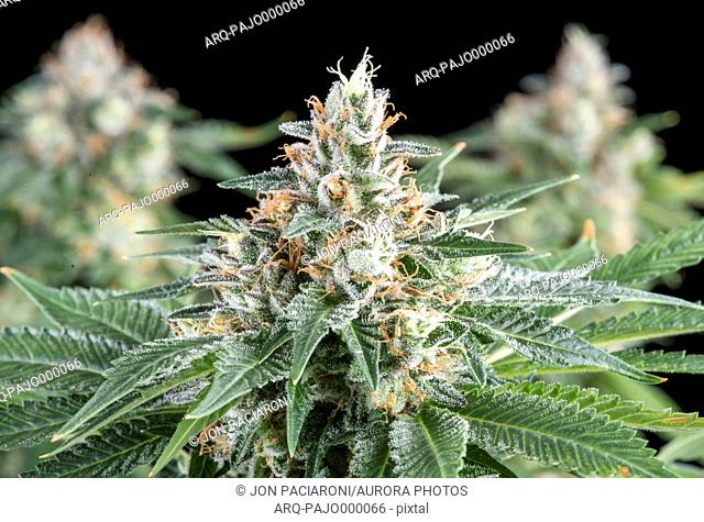 Denver, Colorado- A flowering medical marijuana plant inside Rx Green Solutions research and dynamics facility. This flower of OG Kush is a popular cannabis...