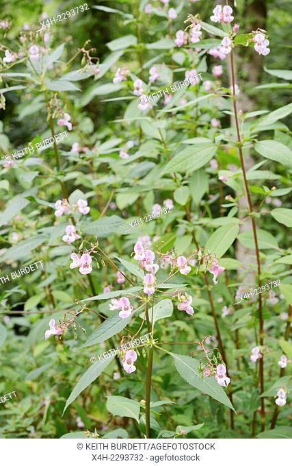 Himalayan balsam, Impatiens glandulifera, invasive introduced non native plant, Wales, UK