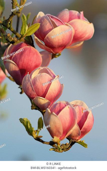 saucer magnolia Magnolia x soulangiana, Magnolia soulangiana, Magnolia x soulangeana, Magnolia soulangeana, blossoms