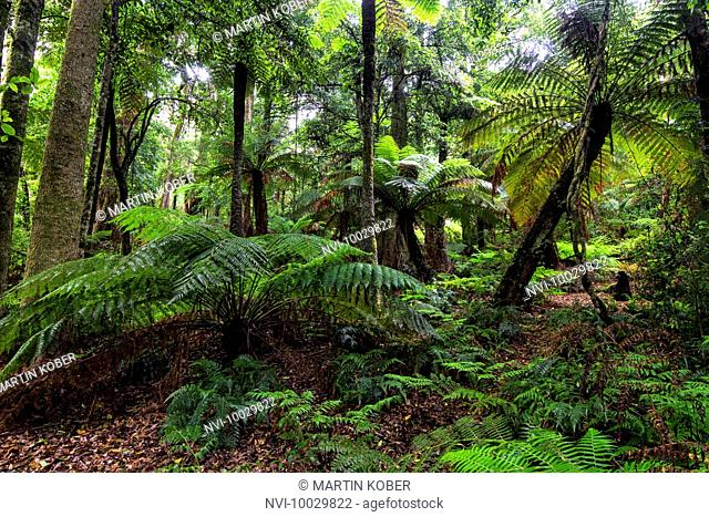 The Cathedral of Ferns is one of the few remains of extensive tree fern forests in New South Wales, Australia