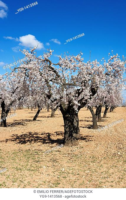 Almond trees with flowers in spring  LLeida  Spain