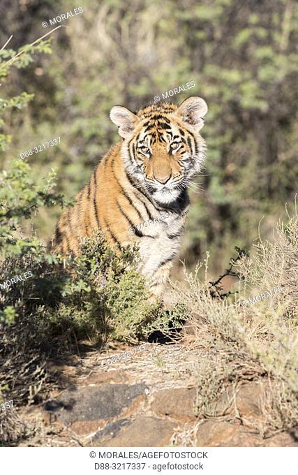 Afrique du Sud, Réserve privée, Tigre du Bengale (Panthera tigris tigris), petit de 6 mois au repos / South Africa, Private reserve