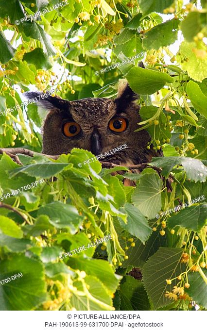 11 June 2019, Saxony-Anhalt, Havelberg: An eagle owl sits in a tree near St. Mary's Cathedral in Havelberg. The old bird has settled in a niche of the western...
