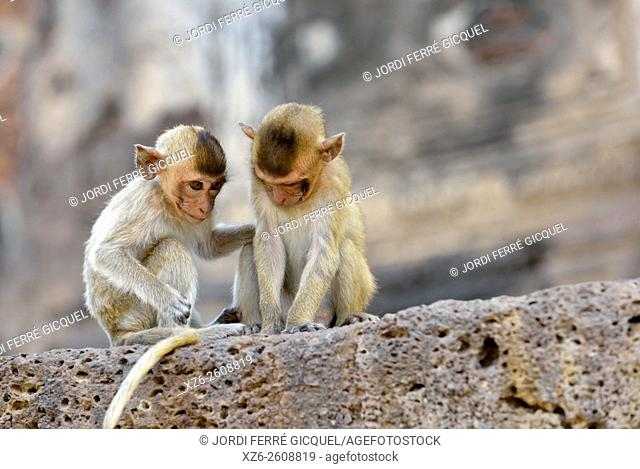 Macaques in the city, monkeys at Prang Sam Yot temple, Lopburi, Thailand, Asia