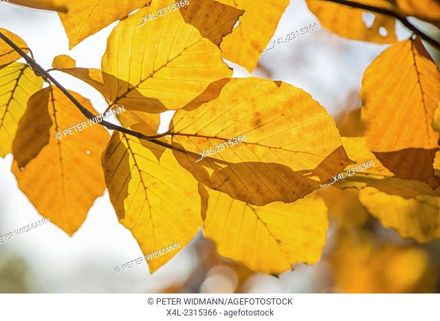 Beech tree in autumn, Austria, Vienna, 18. district, Tuerkenschanzpark