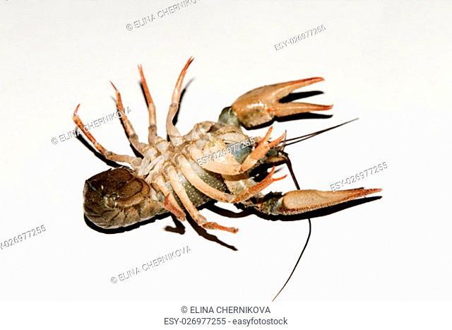 alive crayfish isolated on white background, live crayfish closeup, fresh crayfish. Beer snacks, river crayfish