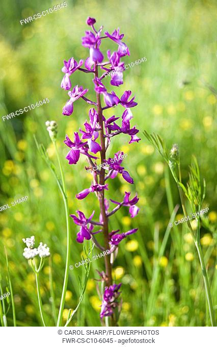 Orchid, Loose flowered orchid, Anacamptis laxiflora, single flower in a meadow of buttercups, Halkidiki, Greece