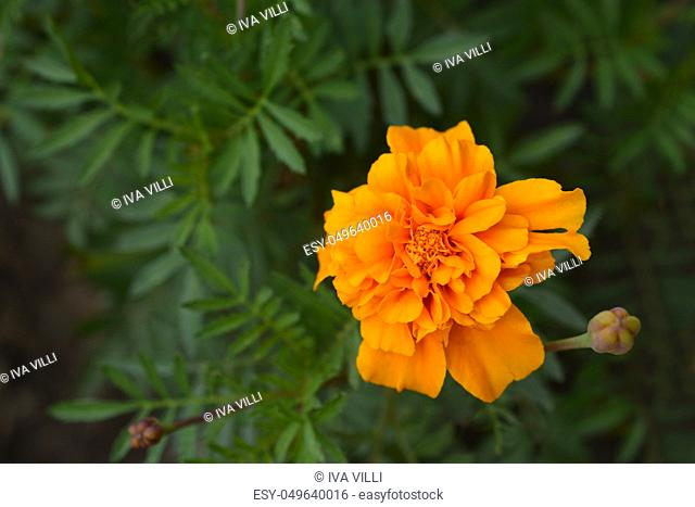 French marigold - Latin name - Tagetes patula