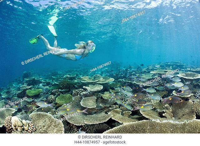 Gesundes Riffdach und Schnorchlerin, Ellaidhoo Hausriff, Nord Ari Atoll, Malediven, Healty Reef and Skin diver, Ellaidhoo House Reef, North Ari Atoll, Maldives
