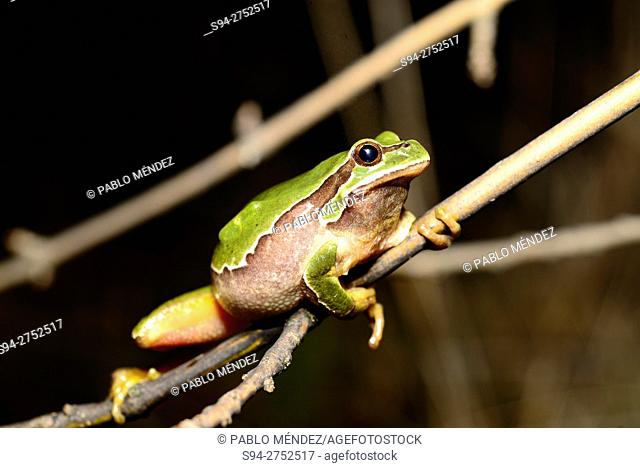 Iberian treefrog (Hyla molleri) on a branch in Valdemanco, Madrid, Spain