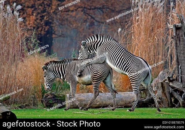 Zebra Mating Stock Photos And Images Age Fotostock