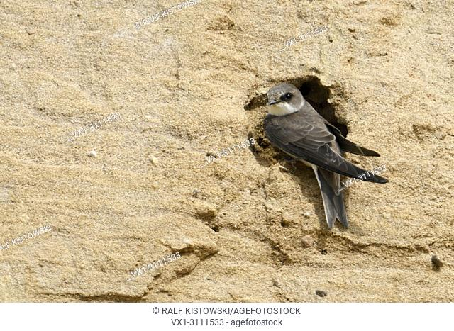 Sand Martin / Bank Swallow / Uferschwalbe ( Riparia riparia) sits at its nest hole in a slope of a sand pit, wildlife, Europe