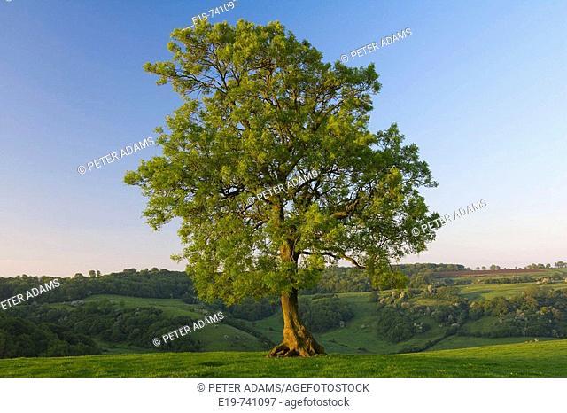 Spring tree & valley, Wotton Under Edge, Gloucestershire, UK