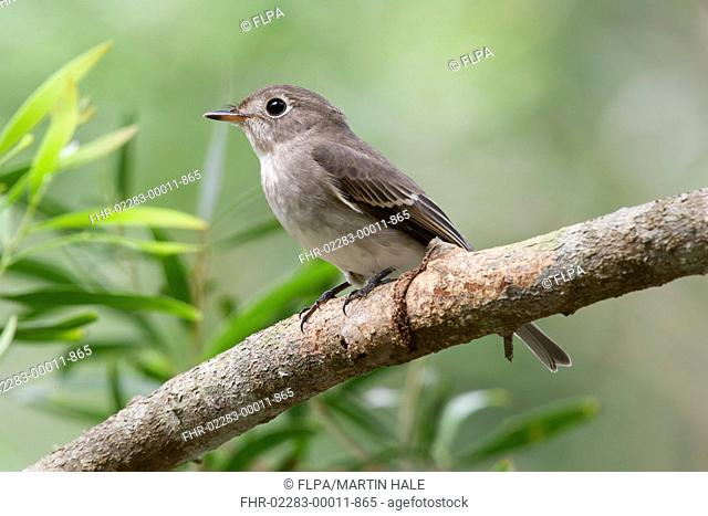 Asian Brown Flycatcher (Muscicapa dauurica) immature, first winter plumage, perched on branch, Tai Po Kau, New Territories, Hong Kong, China, September