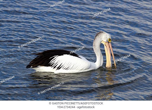 Australian Pelican (Pelecanus conspicillatus), American River, Kangarro Island, South Australia, Australia