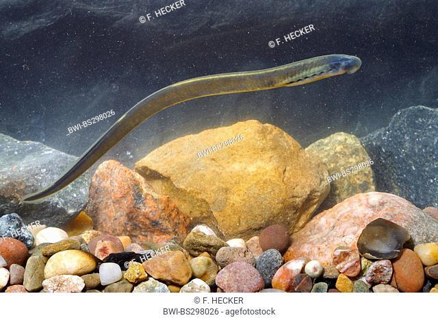 Brook lamprey, European brook lamprey (Lampetra planeri), larva, Germany