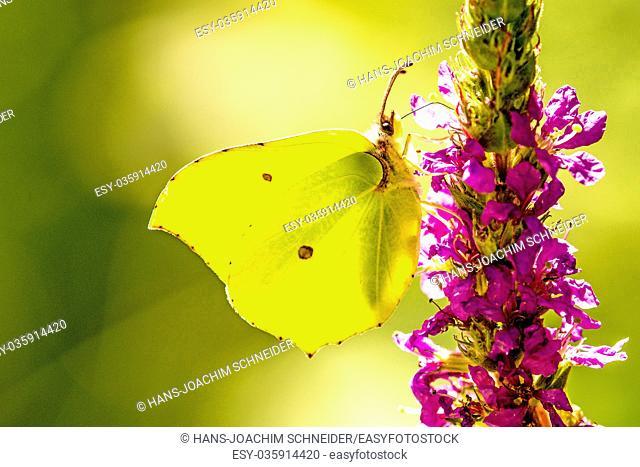 brimstone butterfly on a flower of purple loosestrife
