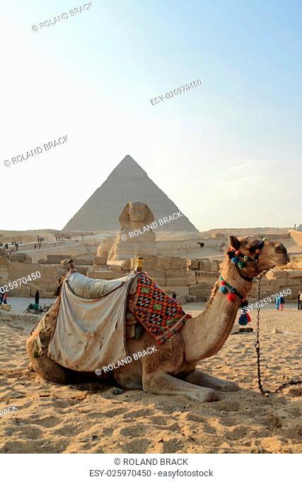 camel at the pyramids of cairo