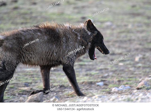 A gray wolf bares his teeth at Yellowstone National Park, Wyoming