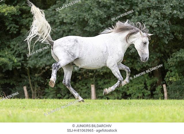 Pure Spanish Horse, Andalusian. Gray gelding bucking on a meadow. Germany