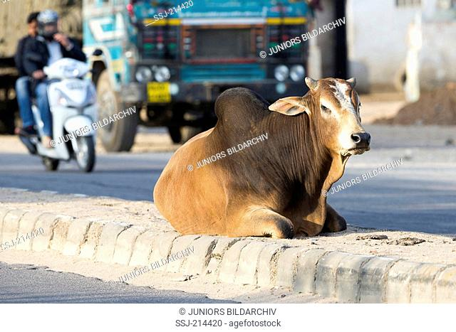 Domestic Cattle, Zebu (Bos indicus). Holy Cow lying on a street. Jaipur, Rajasthan, India