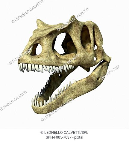 Allosaurus dinosaur skull, computer artwork. Allosaurs were large carnivorous reptiles that lived during the late Jurassic period 155 to 145 million years ago