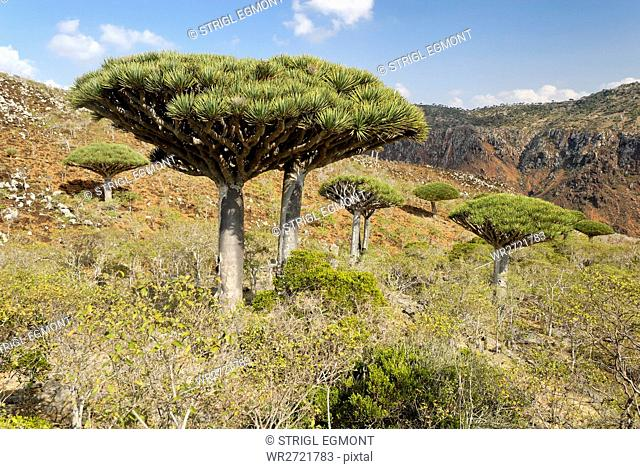 Dragon blood tree, Dracaena cinnabari, Homhil Plat