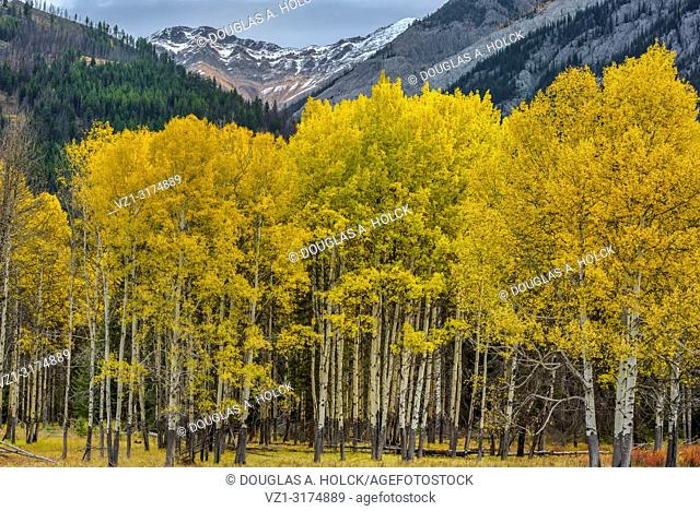 Fall Aspen on Bow Valley Parkway Banff National Park Alberta Canada
