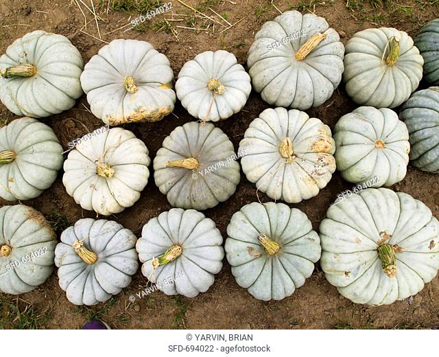 White Pumpkins in Rows, Outdoors, From Above