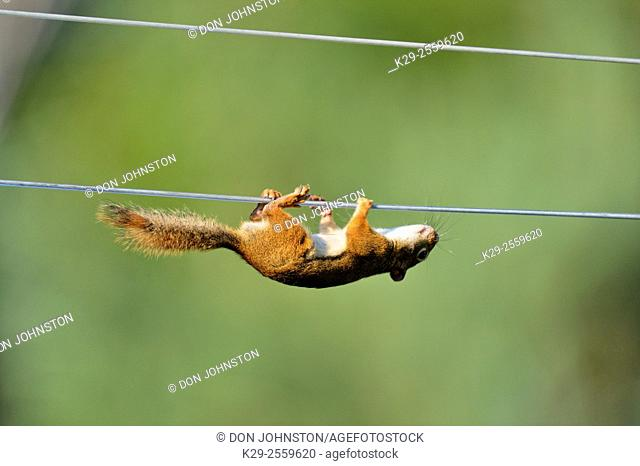Red squirrel (Tamiasciurus hudsonicus) climbing along clothesline to bird feeder , Greater Sudbury, Ontario, Canada