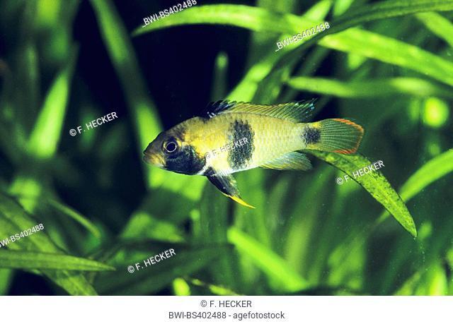 Nijsseni's dwarf cichlid, Panda dwarf cichlid (Apistogramma nijsseni), female