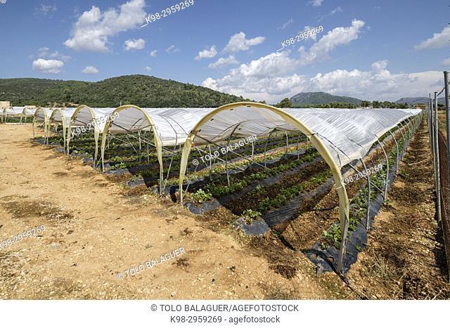 Greenhouses, Sa Pobla, Mallorca, Balearic islands, Spain