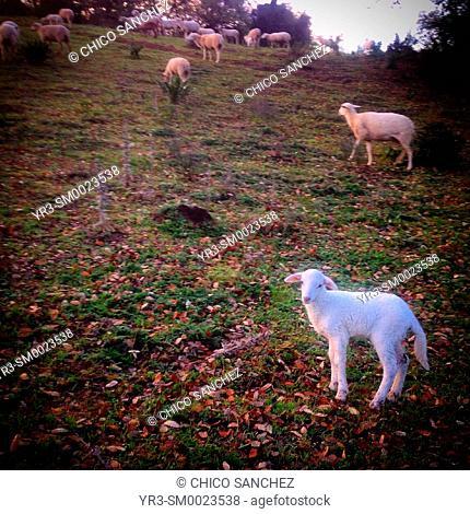 A lamb in Prado del Rey, Sierra de Grazalema, Andalusia, Spain