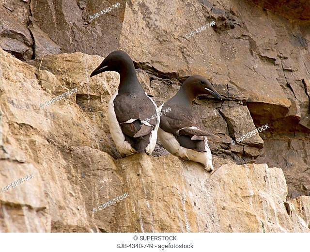 Thick-Billed Murres on a Cliff at Cape Thompson