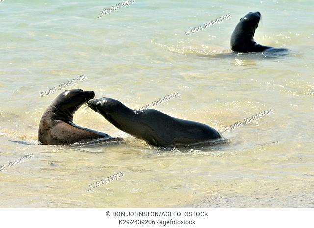 Galápagos sea lion (Zalophus wollebaeki) Youngsters playing in shallow surf, Galapagos Islands National Park, Santa Fe Island, Ecuador