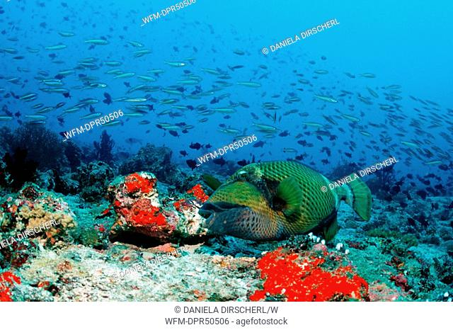 Titan Triggerfish, Balistoides viridescens, North Ari Atoll, Maldives