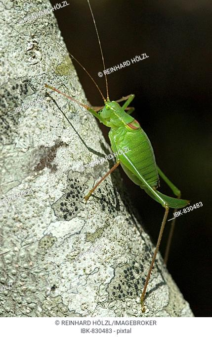 Speckled Bush-cricket (Leptophyes punctatissima), Assisi, Umbria, Italy, Europe