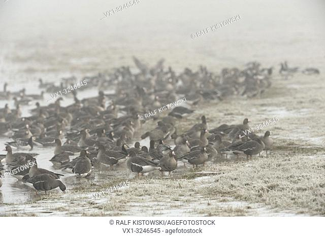 White-fronted geese / Anser albifrons / Blässgänse resting on frozen grasslands next to a lake .