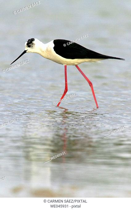Black-winged Stilt (Himantopus himantopus). Spain