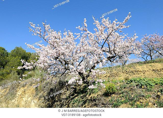 Almond (Prunus dulcis or Prunus amygdalus) is a deciduous tree native to Asia from Turkey to India but widely cultivated for its edible fruits (drupes)