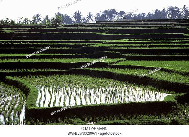 rice terraces, Indonesia, Bali, Ubud