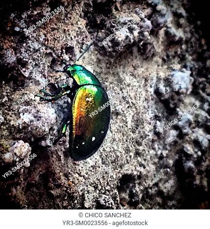 A green beetle in Prado del Rey, Sierra de Cadiz, Andalusia, Spain