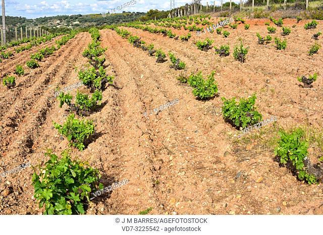 Vineyard (Vitis vinifera) in Arribes del Duero, Zamora province, Castilla-Leon, Spain