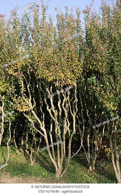 Crape myrtle Lagerstroemia indica Lythraceae