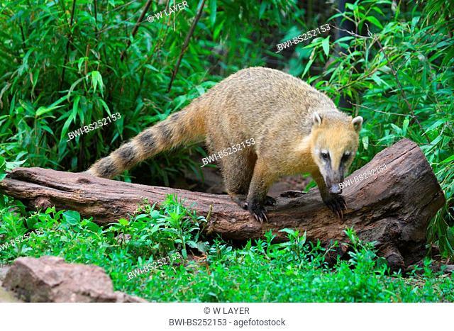 coatimundi, common coati, brown-nosed coati Nasua nasua, climbing on a log
