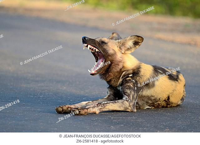 African wild dog (Lycaon pictus), lying in the middle of the road, yawning, Kruger National Park, South Africa, Africa