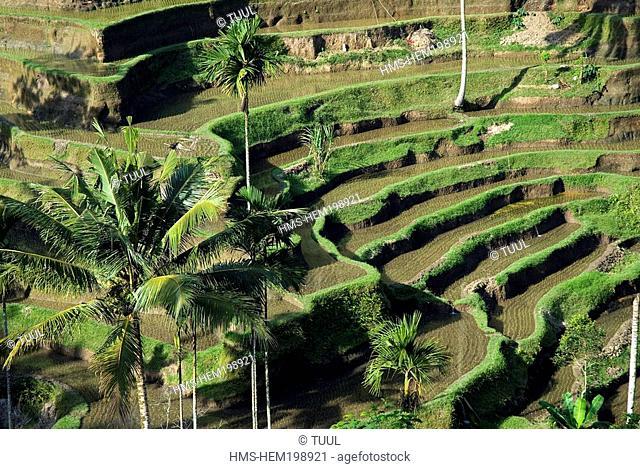 Indonesia, Bali, rice fields near Pujung village