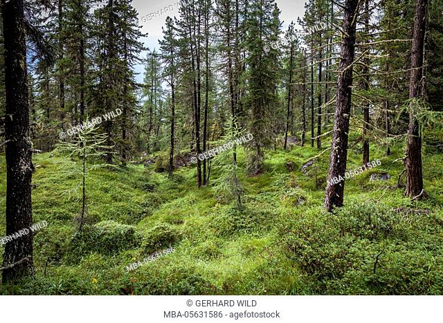 forest at the bottom of the Sas dla Crusc, St. Leonhard close Abtei, South Tyrol, Italy, Europe
